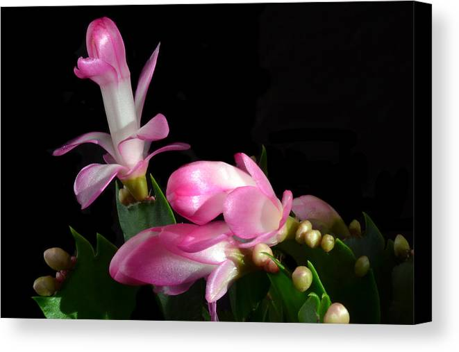 Christmas Cactus Canvas Print featuring the photograph Yule Time. by Terence Davis