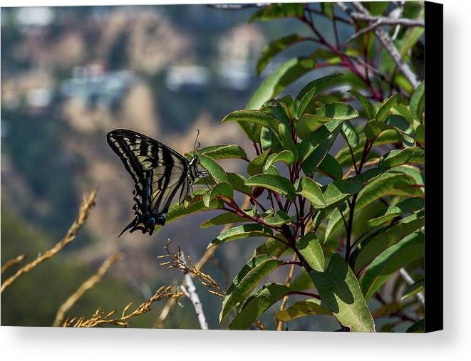 Black Canvas Print featuring the photograph 0518- Butterfly by David Lange