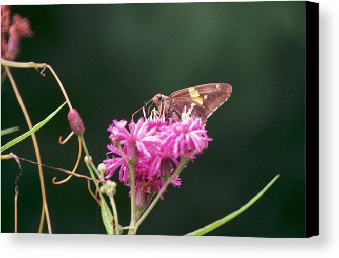 Butterfly Canvas Print featuring the photograph 072106-19 by Mike Davis