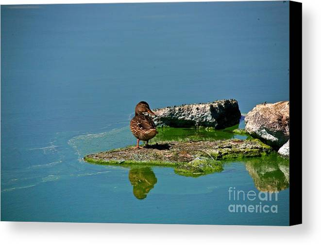 Duck Canvas Print featuring the photograph Alone by Robert Pearson
