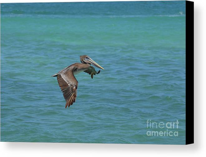 Pelican Canvas Print featuring the photograph Beautiful Pelican In Flight Over The Water In Aruba by DejaVu Designs