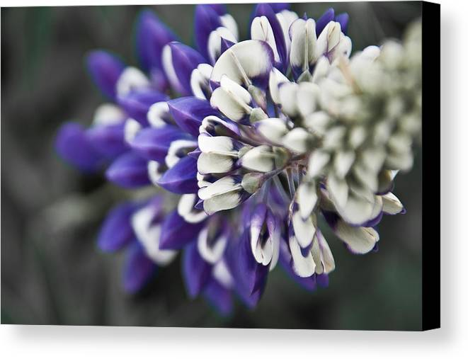 Lupine Canvas Print featuring the photograph Blue Lupine by Jonathan Hansen