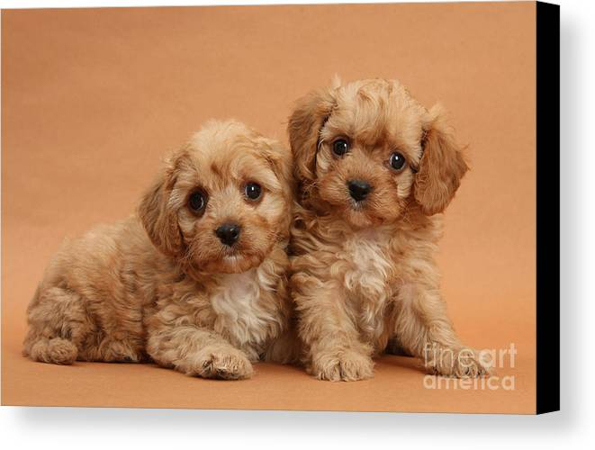 Animal Canvas Print featuring the photograph Cavapoo Pups by Mark Taylor