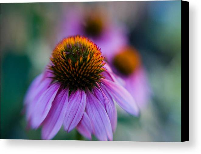 Conflower Canvas Print featuring the photograph Coneflower Ballet by Sandy Belk