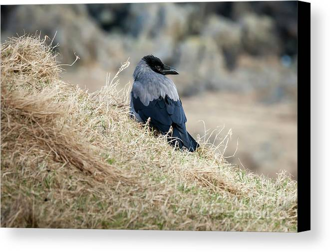 Crow Canvas Print featuring the photograph Crow In The Gras by Arild Lilleboe