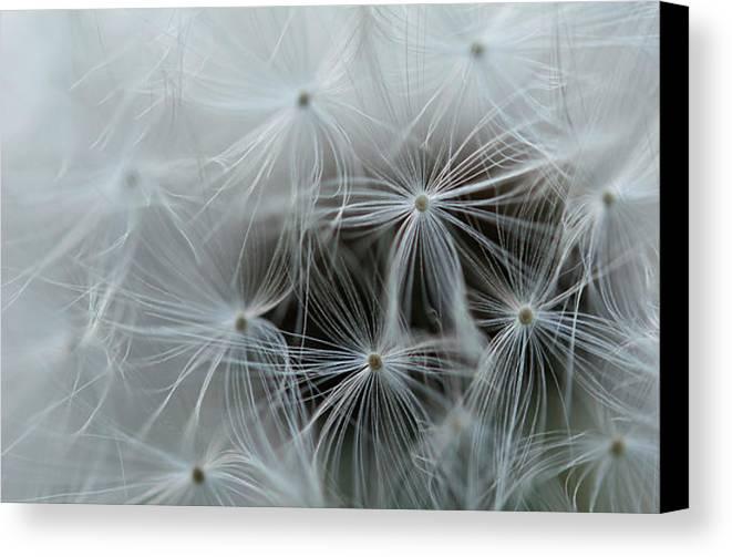 Dandelion Canvas Print featuring the photograph Dandelion Close-up by Michelle Himes