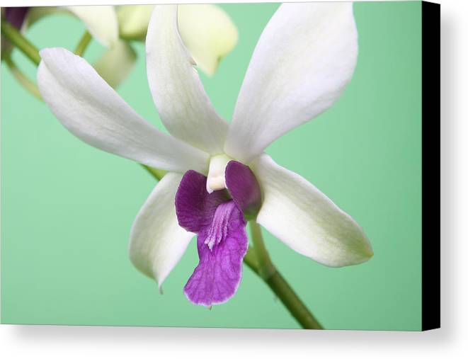 Dendrobium Canvas Print featuring the photograph Dendrobium Orchid by Lynn Berreitter