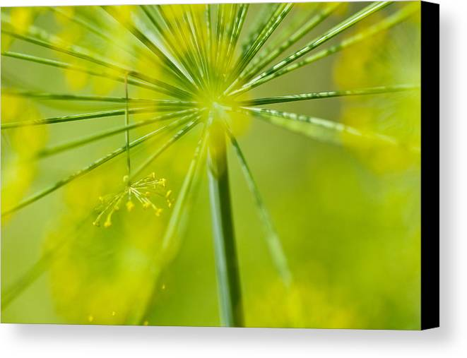 Dill Canvas Print featuring the photograph Dill by Jane Melgaard
