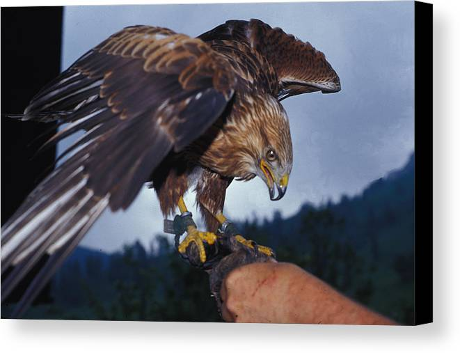 Falcon Canvas Print featuring the photograph Falcon by Carl Purcell