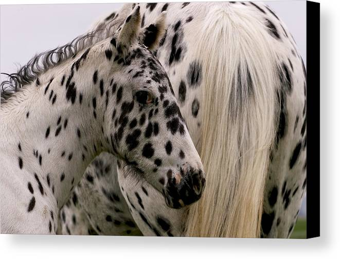 Colt Canvas Print featuring the photograph Knabstrupper Foal by Michael Mogensen