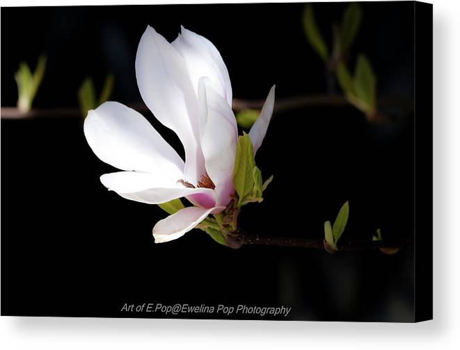 Flowers Canvas Print featuring the photograph Magnolia by Ewelina Pop