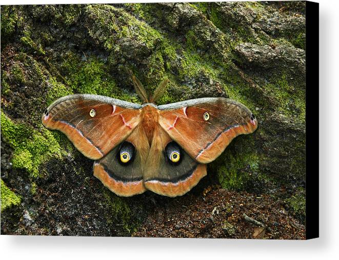 Moth Canvas Print featuring the photograph Natures Eyes by David Paul Murray