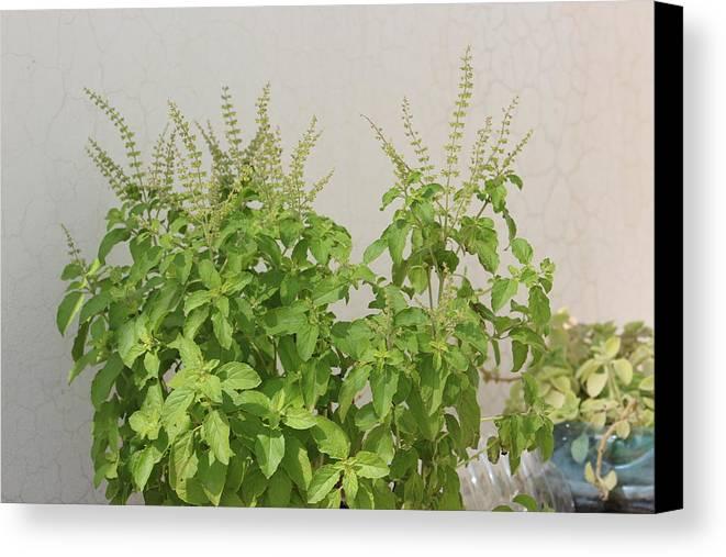 Tulsi Plant Canvas Print featuring the photograph Photo by Manoj John