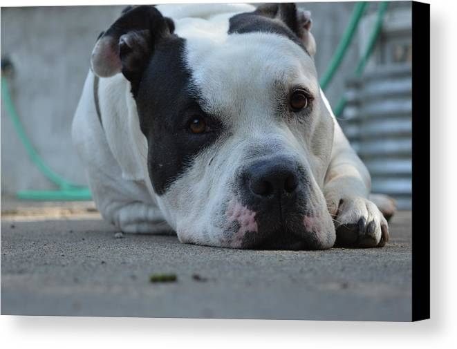 Pitbull Canvas Print featuring the photograph Pretty Boy by Nadia