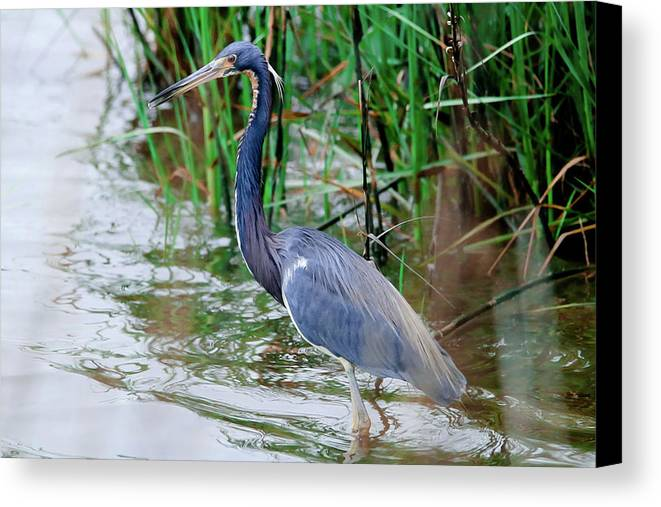 Heron Canvas Print featuring the photograph Proud by Burge Darwin