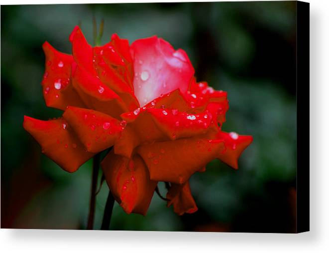 Roses Canvas Print featuring the photograph Rained Upon by Living Color Photography Lorraine Lynch