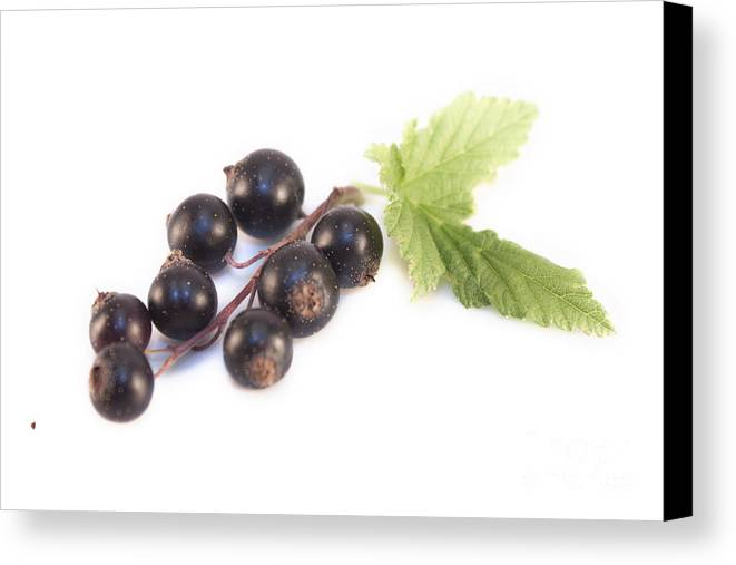 Blackcurrant Canvas Print featuring the photograph Ribes Nigrum Isolated by D R