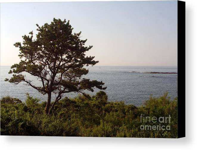 Pine Canvas Print featuring the photograph Seaside Pine by Ray Konopaske