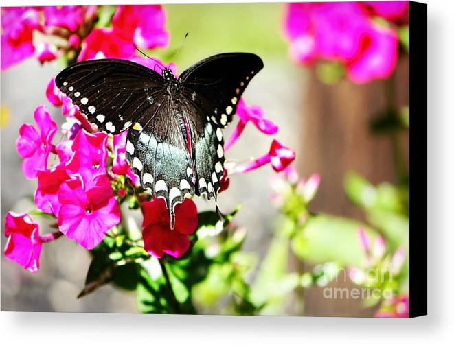 Butterfly Canvas Print featuring the photograph Spicebush Swallowtail by Tina LeCour