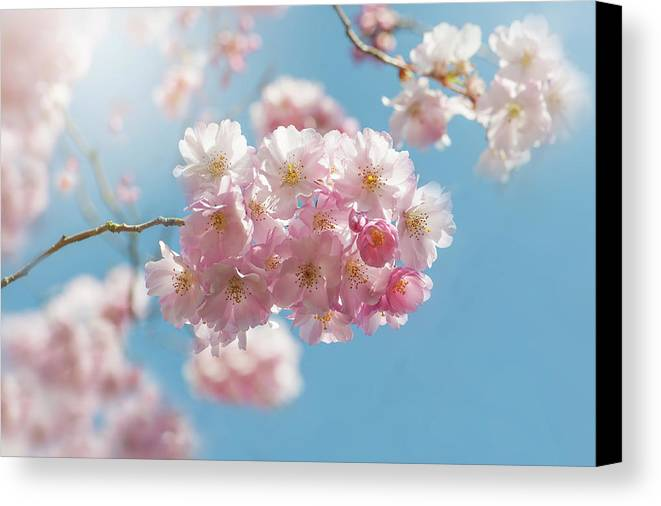 Japanese Flowering Cherry Tree Canvas Print featuring the photograph Spring Pinks by Jacky Parker