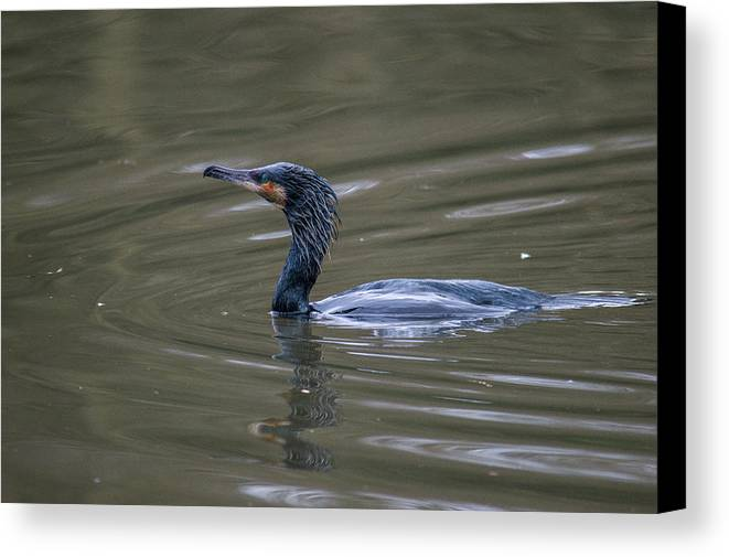 The Great Cormorant Canvas Print featuring the photograph The Great Cormorant by Stephen Jenkins