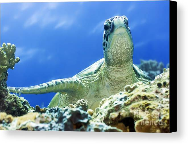 Turtle Canvas Print featuring the photograph Turtle by MotHaiBaPhoto Prints