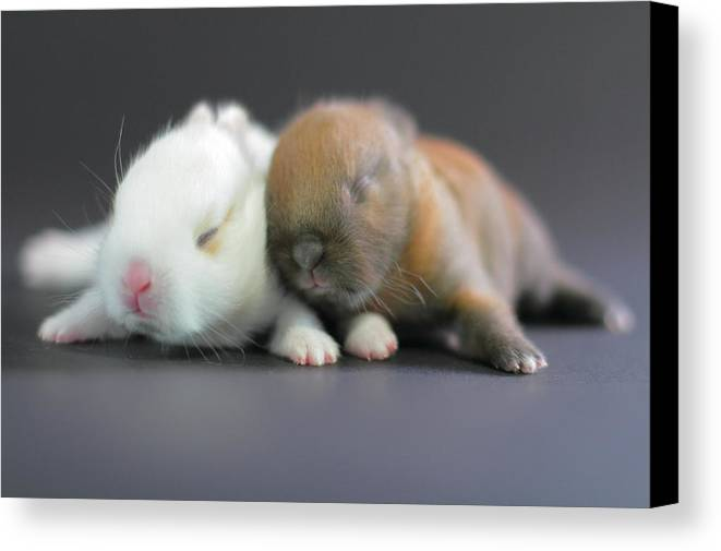 Horizontal Canvas Print featuring the photograph 11 Day Old Bunnies by Copyright Crezalyn Nerona Uratsuji