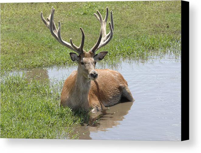 Deer Canvas Print featuring the photograph 12 Point Buck by Keith Lovejoy