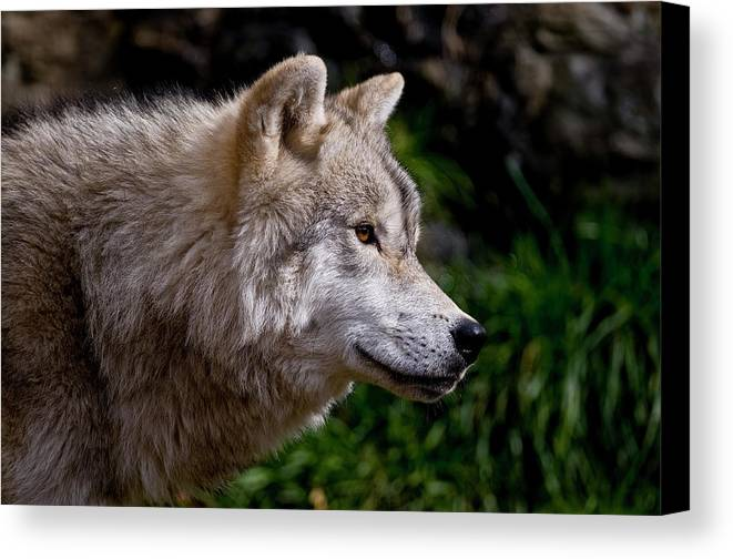 Michael Cummings Canvas Print featuring the photograph Arctic Wolf Portrait by Michael Cummings
