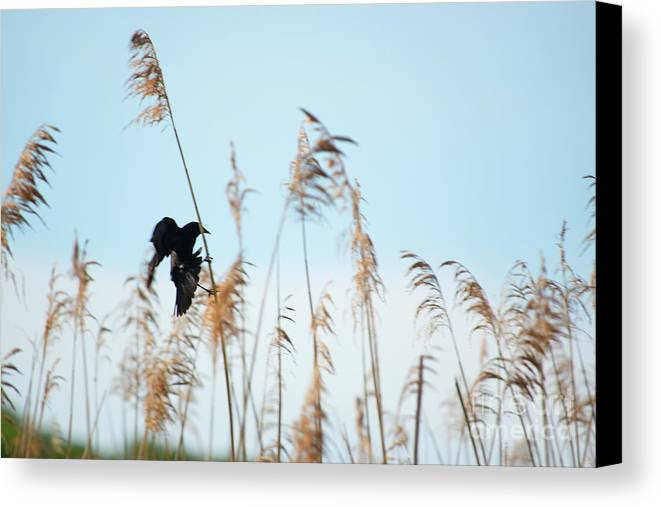 Black Canvas Print featuring the photograph Black Bird In Cat Tails by Michelle Himes