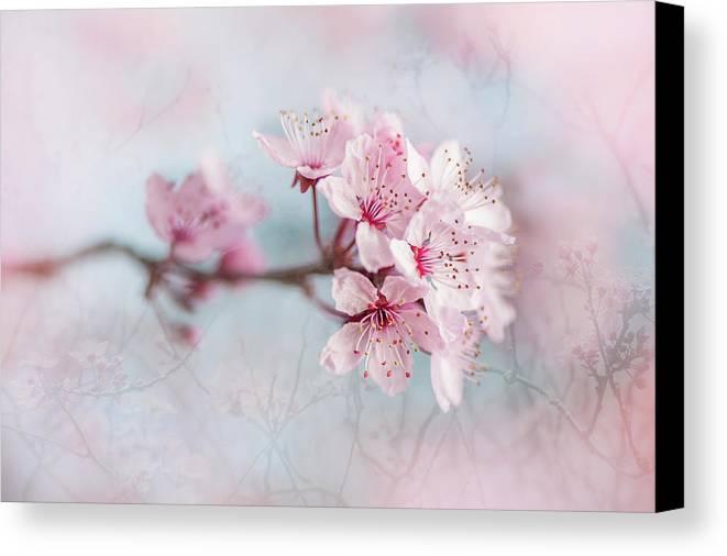 Black Cherry Plum Canvas Print featuring the photograph Black Cherry Plum Blossom by Jacky Parker