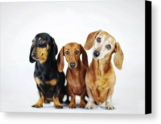 Dachshund Canvas Print featuring the photograph Dachshund Pack by Johnny Ortez-Tibbels