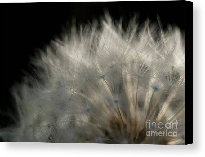 Dandelion Canvas Print featuring the photograph Dandelion Seeds by Michelle Himes