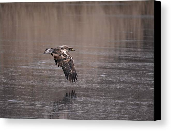 Immature Eagle Canvas Print featuring the photograph Eagle by John Adams
