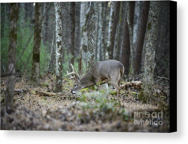 Whitetail White Tail Buck Bucks Deer Mating Season In Rut Walking Following In Woods Forest Scraping Rubbing Trees Nature Animal Animals Mammals Mammal Canvas Print featuring the photograph Whitetail Buck Deer by Chip Laughton