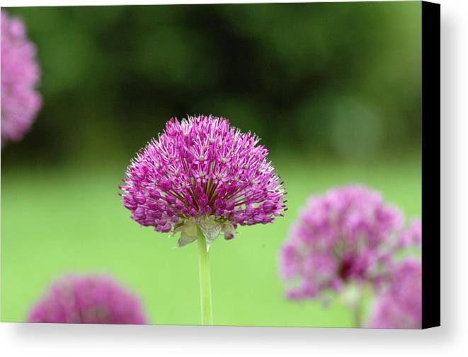 Purple Canvas Print featuring the photograph Untitled by Kathy Schumann