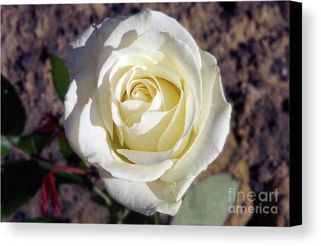 Flowers Canvas Print featuring the photograph White Rose by Elvira Ladocki