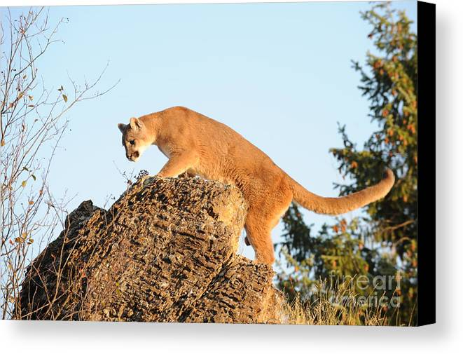 Mountain Lion Canvas Print featuring the photograph Mountain Lion by Dennis Hammer