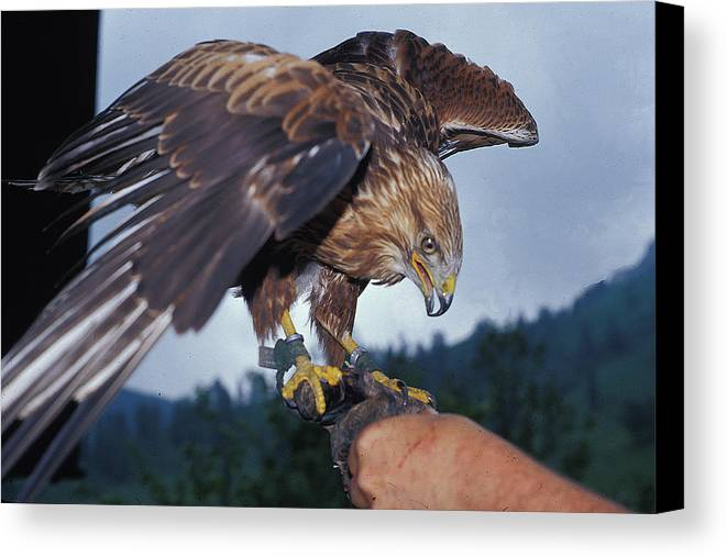 Bird Canvas Print featuring the photograph Falcon by Carl Purcell