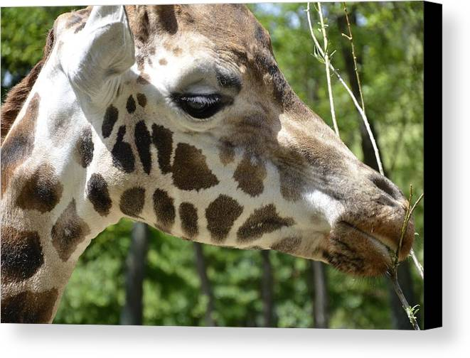 Mammal Canvas Print featuring the photograph Giraffe by FL collection
