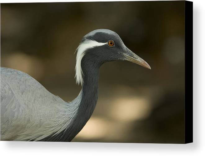 Photography Canvas Print featuring the photograph A Demoiselle Crane Anthropoides Virgo by Joel Sartore