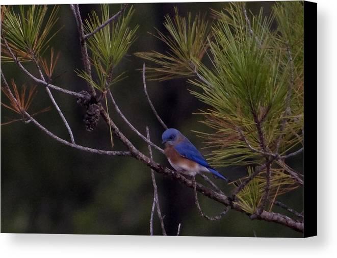 Birds Canvas Print featuring the photograph A Little Bluebird by Regenia Brabham