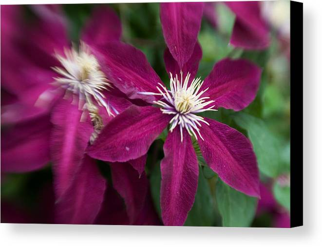 Georgia Photographer Canvas Print featuring the photograph A Pair Of Clematis Flowers by Sandy Belk