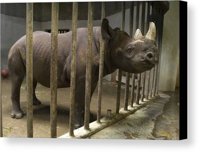Photography Canvas Print featuring the photograph A Rhino At The Sedgwick County Zoo by Joel Sartore