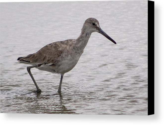 Nature Canvas Print featuring the photograph A Spotted Sandpiper by Regenia Brabham