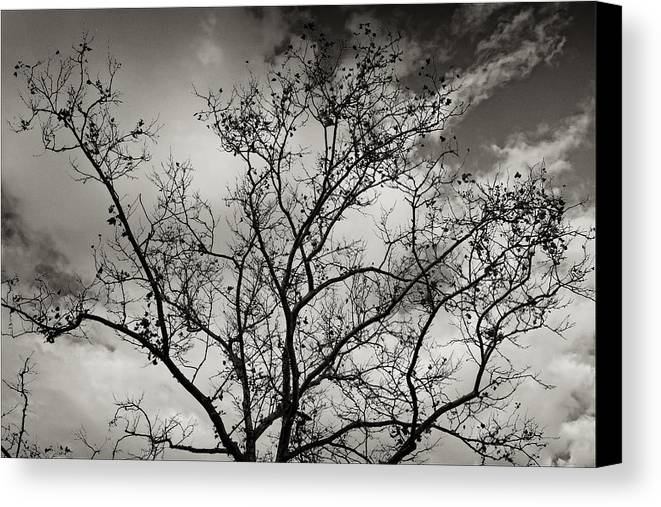 Tree Canvas Print featuring the photograph A Tree Laid Bare by Robert Ullmann