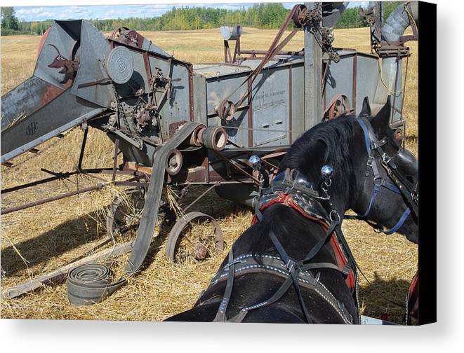 Mccormick Threshing Machine And Black Belgian Horse In Harness. Autumn Oat Field Canvas Print featuring the photograph A Watchful Eye by Angela Patterson