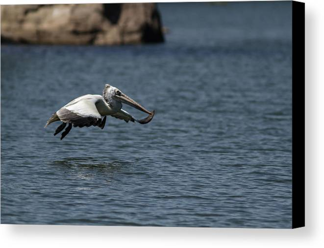 Pelican Canvas Print featuring the photograph Aligning For The Dive by Ramabhadran Thirupattur
