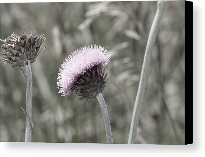 Almost black and white pale purple thistle flower photograph canvas thistle canvas print featuring the photograph almost black and white pale purple thistle flower photograph by mightylinksfo