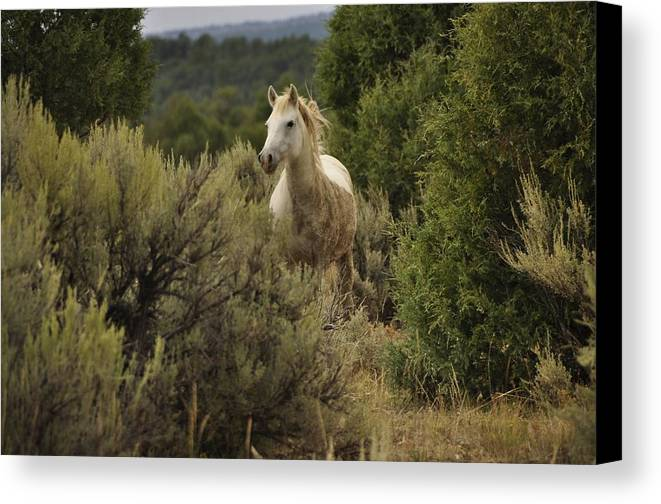Wild Horses Canvas Print featuring the photograph Alone In The Sage by Jim Earle